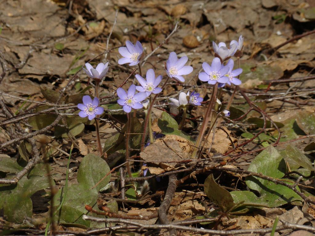 Hepatica nobilis Mill. - Печеночница благородная